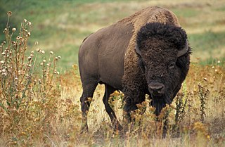 Photograph of a Turtle island bison.