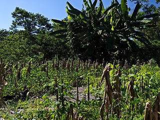 A Mayan milpa field in 'central america.'