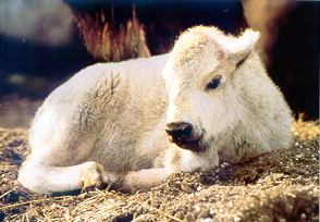 Photograph of Miracle, the white buffalo calf born on the Heider farm in wisoconsin in 1994.