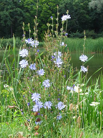 Photograph of common chicory by Agnieszka Kwiecien, july 2005.
